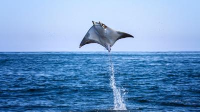 Tiburón - El baile de las rayas