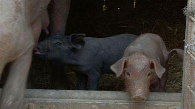 Cerdo ib�rico: el origen de todo