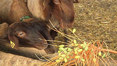 D�tiles y lentejas, el men� de esta oveja