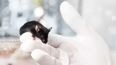 Un equipo de investigadores españoles ha diseñado una nueva técnica de edición de genes con la que han sido capaces de corregir parcialmente la visión en ratones ciegos. Los científicos, dirigidos por Juan Carlos Izpisúa-Belmonte, del Laboratorio de