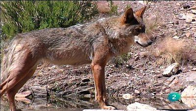 La Aventura del Saber. TVE. El Centro del Lobo Ibérico