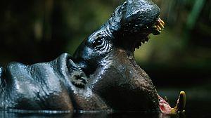 África Salvaje: La charca de los hipopótamos