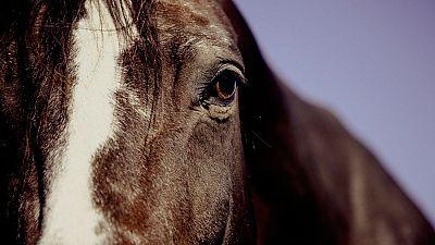 Preparación y cuidados de los animales del toreo a caballo