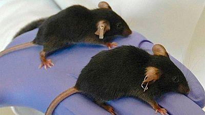 Un equipo internacional logra frenar los daños del paso del tiempo en ratones