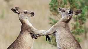 La vida secreta de los canguros: La vida de un macho