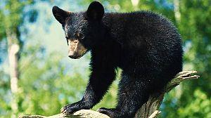 Aprendiendo a ser osos