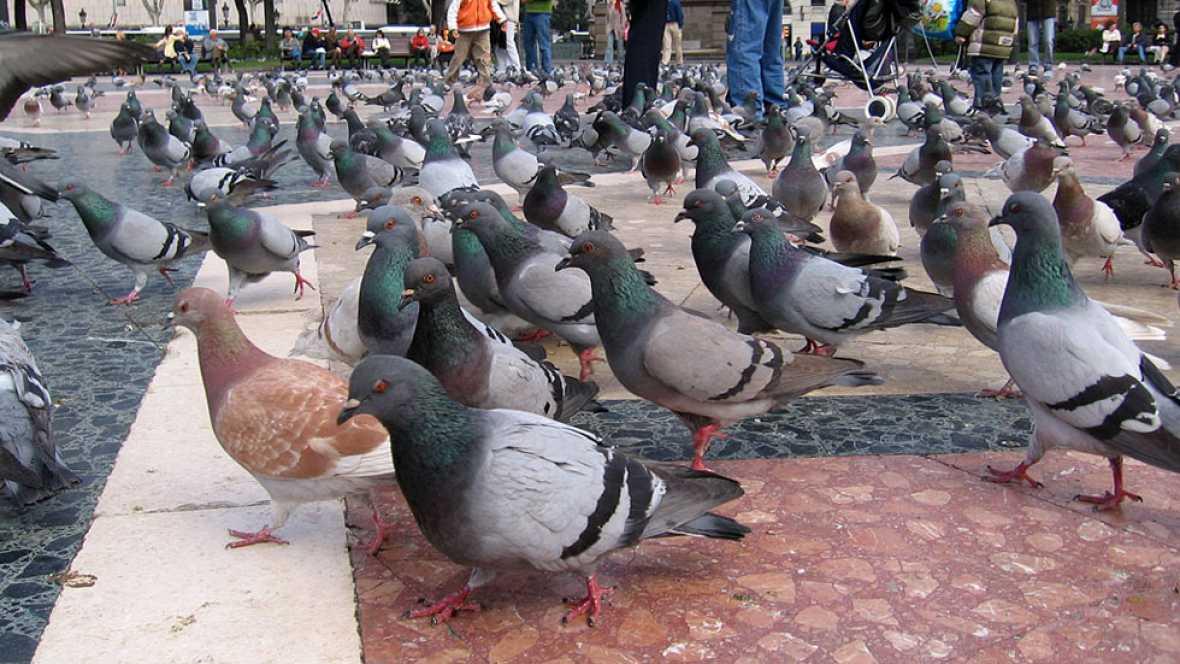 Un tribunal catalán reconoce por primera vez una incapacidad por excrementos de paloma