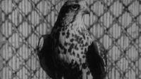 El planeta azul - Los halcones