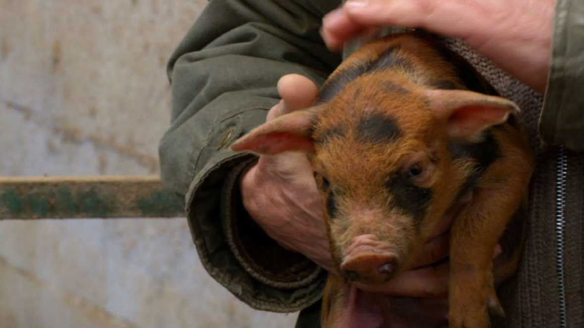 Cerdos únicos