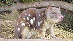 Grandes documentales - Secretos de la Australia salvaje: Los mini marsupiales