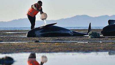 En Nueva Zelanda hasta 650 ballenas se han acercado a una playa por causas desconocidas