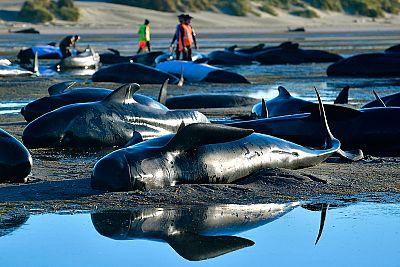 Los cadáveres de 300 ballenas varadas en Nueva Zelanda podrían estallar por acumulación de gases