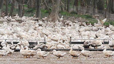 Ganaderos piden a la Generalitat que se acelere la tramitación de ayudas a los productores de las explotaciones afectadas por el brote de gripe aviar