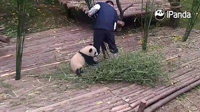 El vídeo del oso panda que se ha vuelto viral