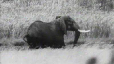 El planeta azul - Los elefantes se mueren de hambre