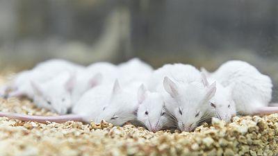 Grupos animalistas denuncian el uso de animales en los laboratorios en lugar de métodos alternativos