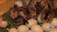 Comando Actualidad - Huevos de distinto color y sabor - Reportaje