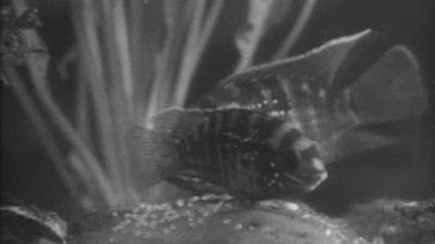 El planeta azul - La maternidad entre los peces