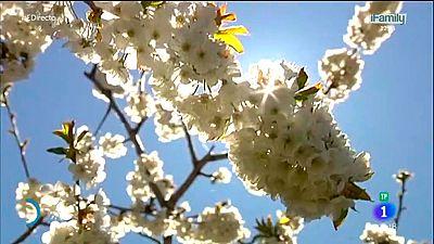 España Directo - El cerezo en flor ya se puede ver por el Valle del Jerte