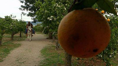 Juanito Orange, la enciclopedia de las naranjas