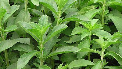 La stevia, el edulcorante milagroso se  extiende como sustituto del azúcar