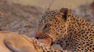 Cazadores de África: El leopardo hambriento