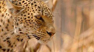 Cazadores de África: La última batalla del leopardo