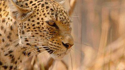 Grandes documentales - Cazadores de África: La última batalla del leopardo - ver ahora