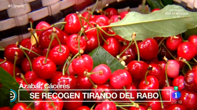 España Directo - Llega la recogida de cereza en Azabal, Cáceres