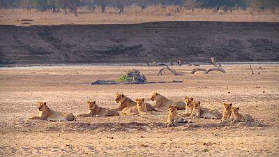 Grandes documentales - Cazadores de África: La manada adolescente - ver ahora