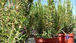 Saber vivir - Plantas medicinales (Botica natural)