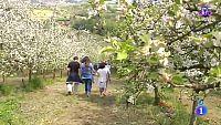 La flor del manzano, en Asturias
