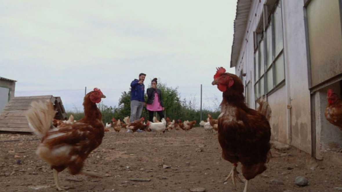 Adopta a una gallina