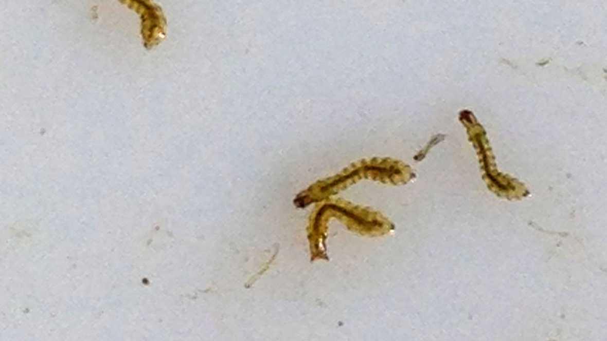 Municipios en alerta por una plaga de mosca negra