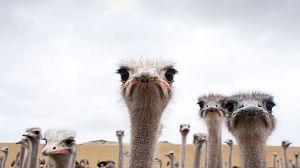 El avestruz. Una vida a la carrera