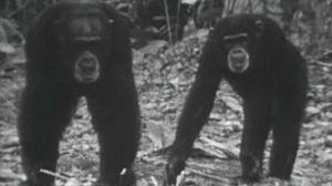 Los chimpancés (I)