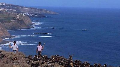 En San Juan, las cabras se bañan en el mar