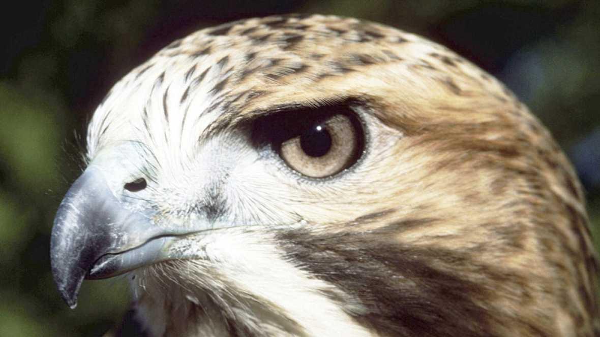 Nuevo anidamiento en el Pirulí de halcones peregrinos