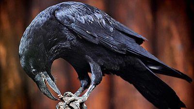 Los cuervos son capaces de planificar, como las personas y los simios