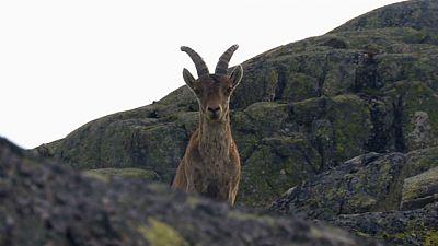 Cabra hispánica, emblema de Gredos
