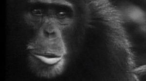 Los chimpancés (II)