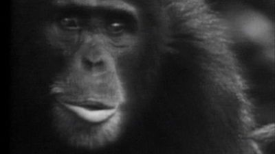 El planeta azul - Los chimpancés (II)