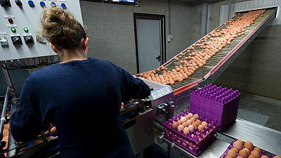 Aumenta a 13 el número de países afectados por los huevos contaminados por fi-pronil