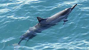 Delfines. Un espía en la manada. 2ª Parte (2)