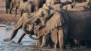 El rey elefante