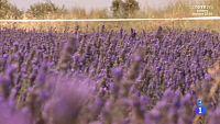 Alargando el verano - Un mar violeta en la Alcarria