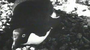 El mundo de los pingüinos (II)