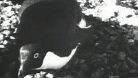 El planeta azul - El mundo de los pingüinos (II)