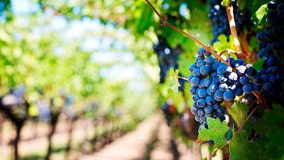 El calor y la sequía han adelantado la campaña de recolección de uvas