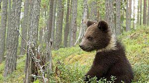 Bosques primarios de Rusia: Carelia
